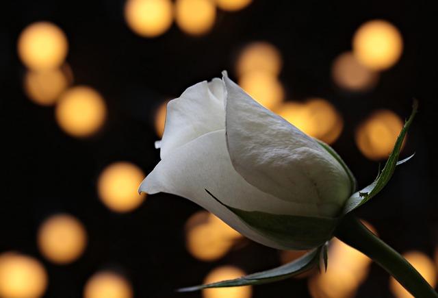 rose-3121243_640